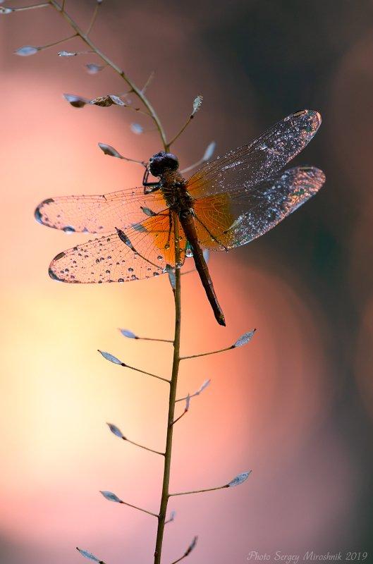 макро, стрекоза, лето, красиво, растение, насекомое, вечер, крылья, украина Хрустальные крыльяphoto preview