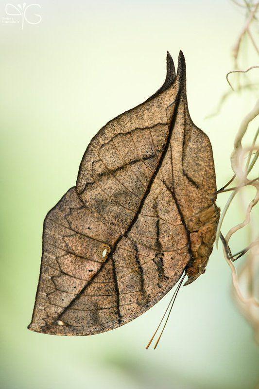 kallima, paralekta, бабочка, листик, макро Бабочка-листикphoto preview