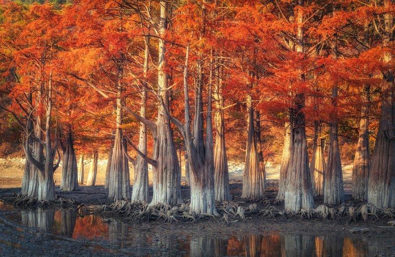 кипарисы, сукко, озеро, корни, осень, болотные кипарисы, Болотные Кипарисы на озере Суккоphoto preview