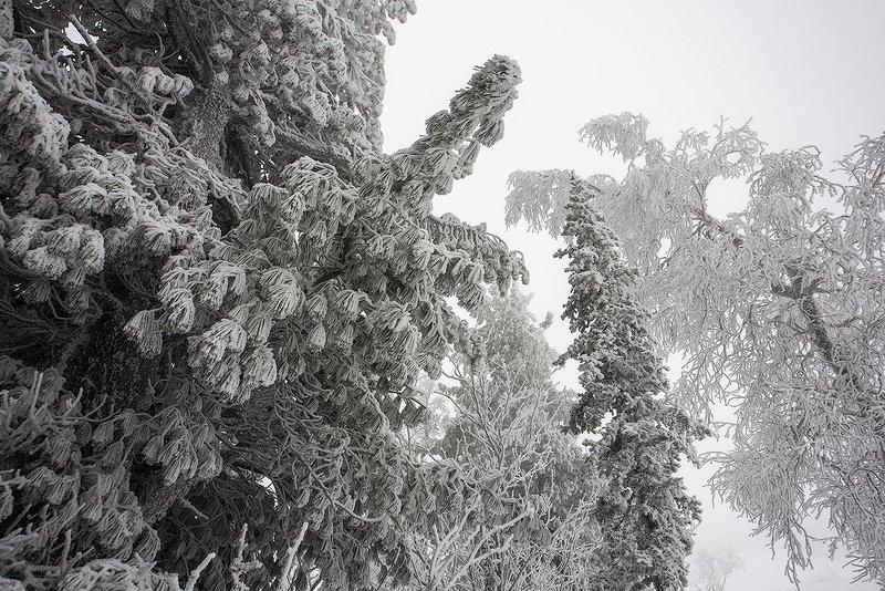 снег, иней, снежные узоры, мороз, кедры, берёзы, гора зелёная, зима, шерегеш, горная шория, сибирь Шерегешские узорыphoto preview