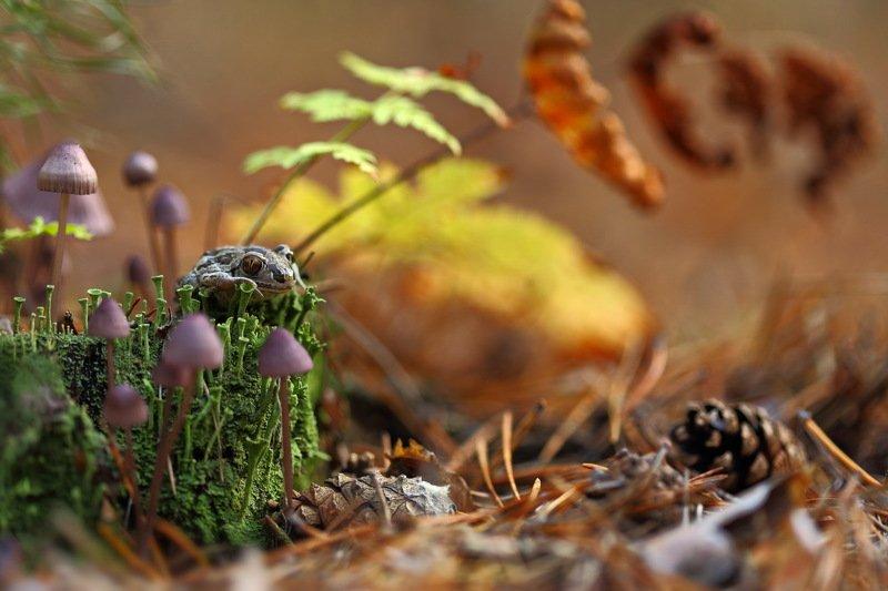 лес, макро, папоротник, лишайник, самарский, чесночница, pelobates, fuscus, кладония, пень, кладония, грибы, шишка, сосна Осенняя сказкаphoto preview