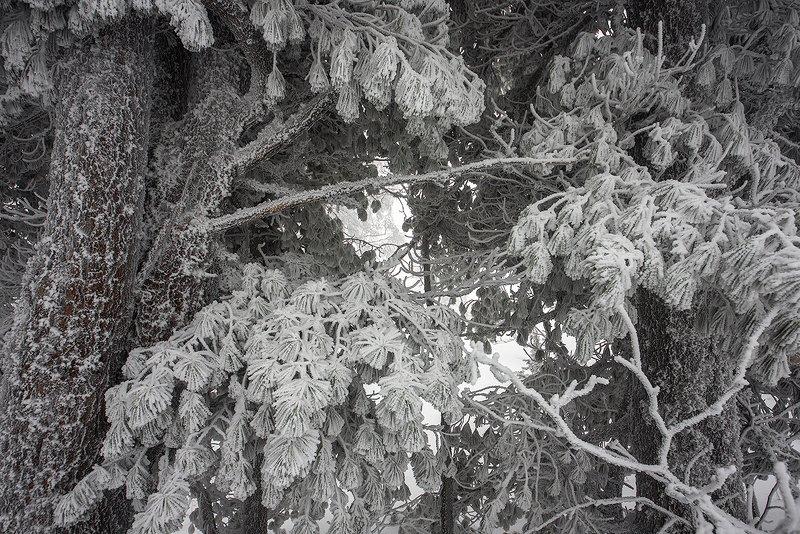 снег, иней, снежные узоры, мороз, кедры, дреды, гора зелёная, зима, шерегеш, горная шория, сибирь С Новым годом!photo preview