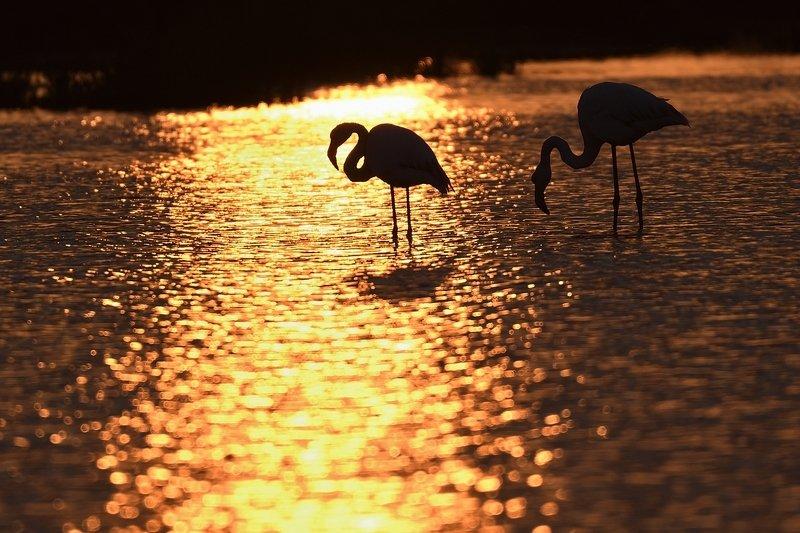 птицы birds Phoenicopterus roseusphoto preview
