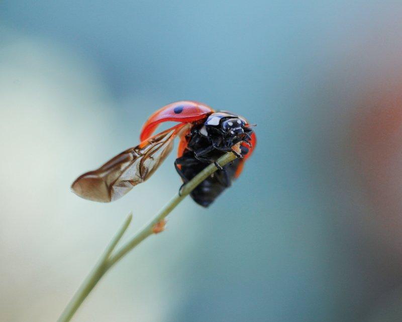 макро, природа, nature, macro, насекомые, insect, ladybug, божьякоровка photo preview