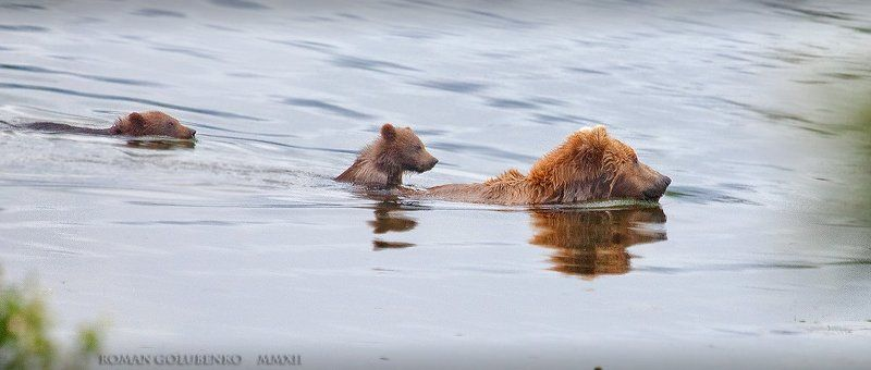 Медвежонок-наездник. плюс Видео. Alaska. Cute GRIZZLY cub riding on the back of his Mumphoto preview