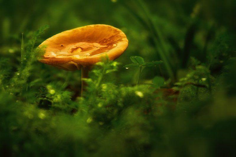 mushroom, golden, rain, grass, green Golden mushroom in the rainphoto preview