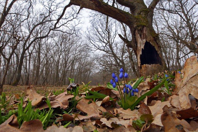 лес, пролеска, самарский, scilla, siberica, сибирская, широкоугольное макро, дуб, quercus, robur, вековые дубы Beauty and the Beastphoto preview