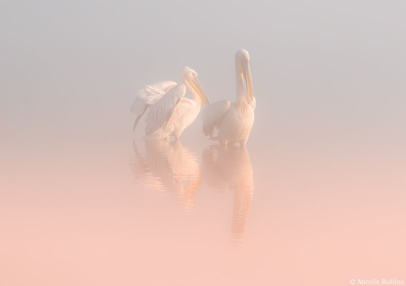 пеликаны,белые пеликаны,ангелы,птицы,животные,утро,туман,минимализм,умиротворение,природа Два Ангела в утреннем тумане ...photo preview