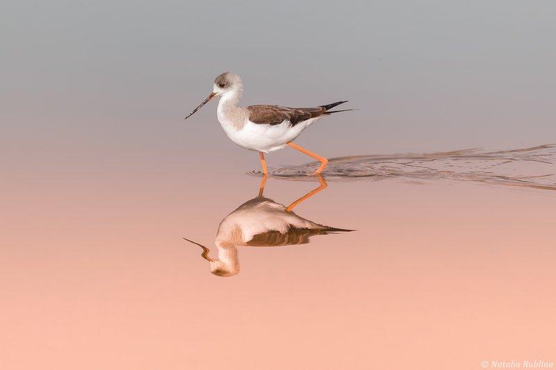 ходулочник,птица,птицы,животные,природа,отражение,минимализм,зеркало Ходулочник на мелководье...photo preview