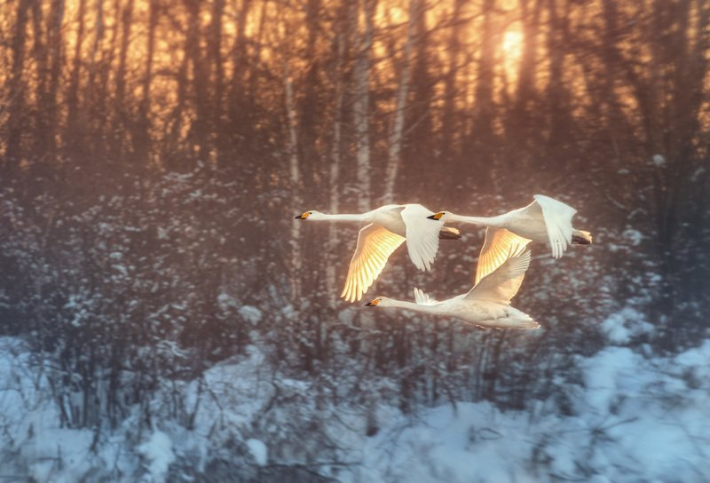 Лебеди, Закат, Озеро Светлое, Алтай, Алтайский край Вдоль закатаphoto preview