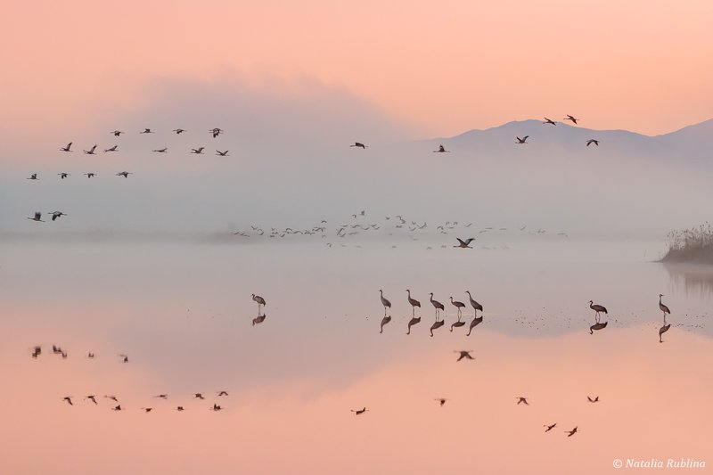 природа,птицы,животные,журавли,рассвет,утро,туман,отражения,рай,полёт,стая птиц,магия природы,парадиз,минимализм В Раю...photo preview