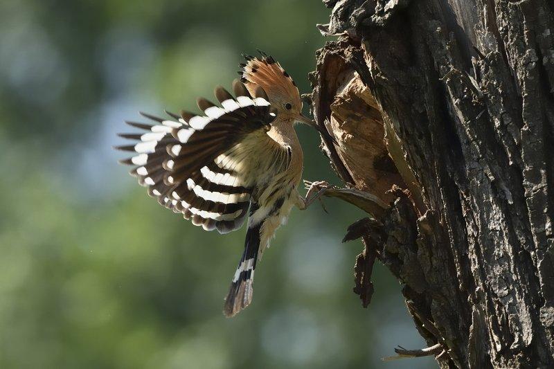 птицы birds Upupa epopsphoto preview