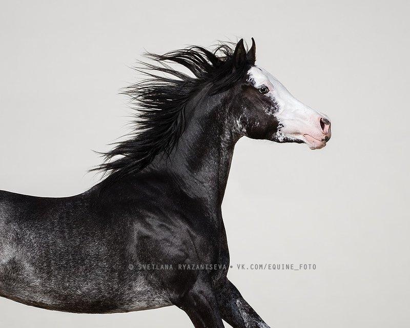 horse, лошадь, лошади, животные, animal GALLOWAY HOT PEPPERSphoto preview