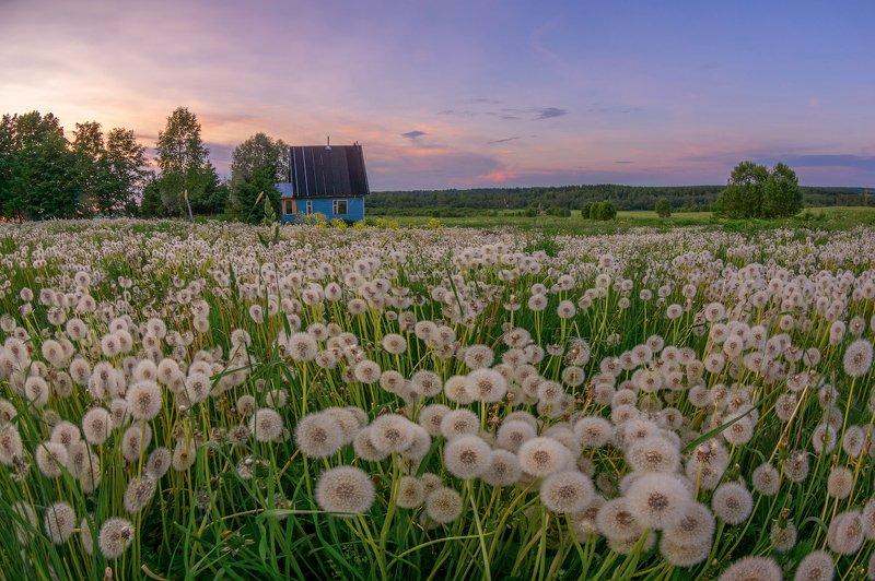 одуванчик деревня вечер цветы лето поле луг планета Одуванчиковphoto preview