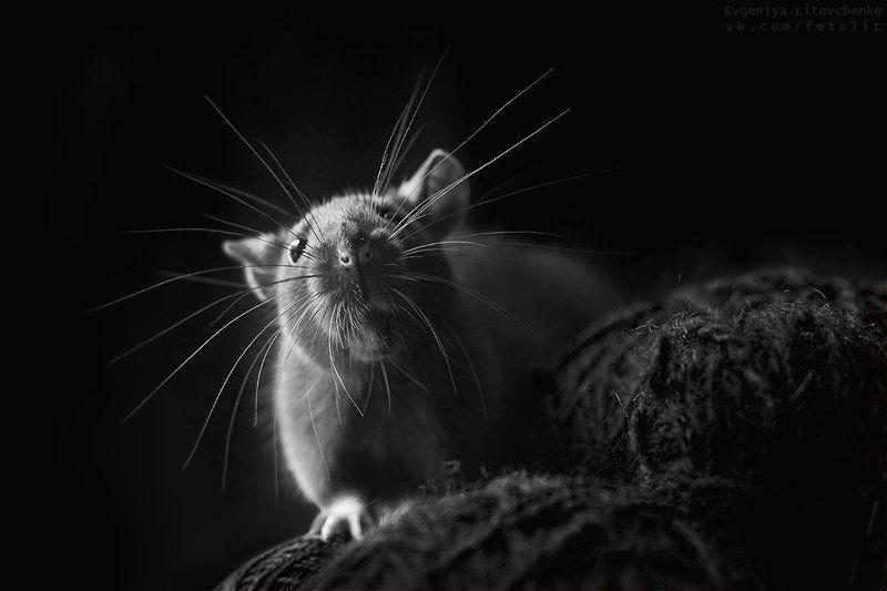 крыса, усы Антенкаphoto preview
