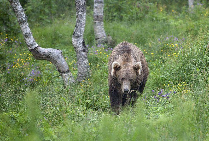 медведь ***photo preview