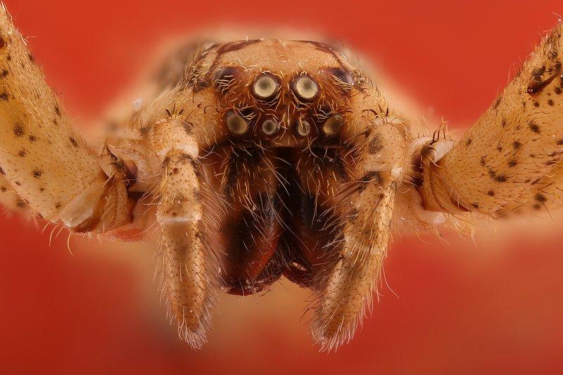 паук насекомое макро ...photo preview