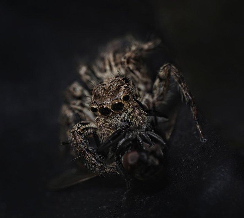 #macro #spider #black Basic Instinctphoto preview