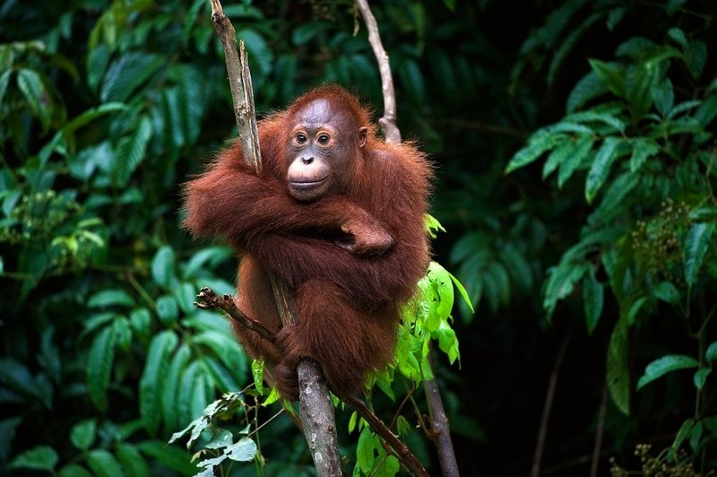 orangutan, nature, wild, animal, pong, indonesia, borneo photo preview