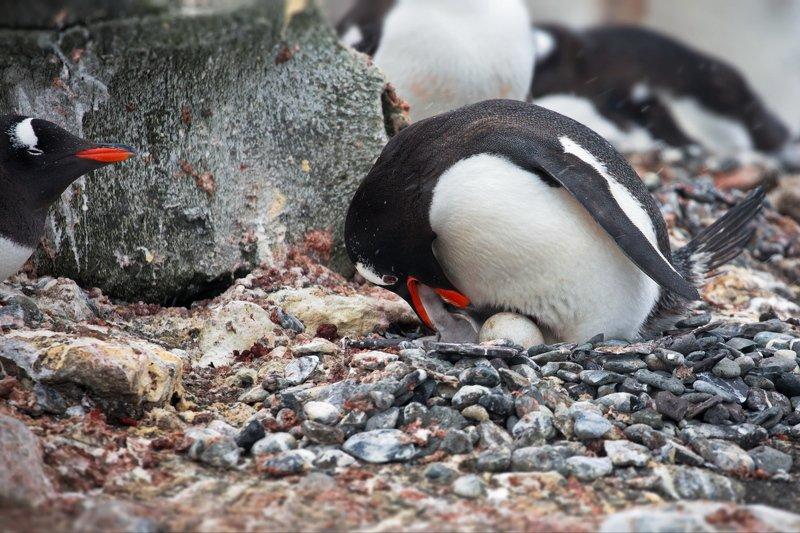 Пингвиньи истории - 4photo preview