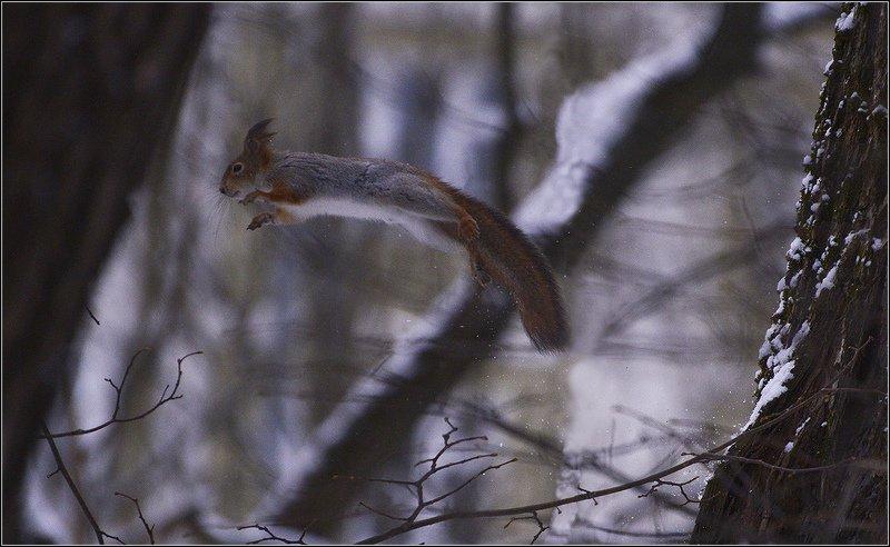 зима, лес, белка Прыжокphoto preview