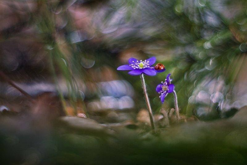 flower Hepatica nobilis Mill.photo preview