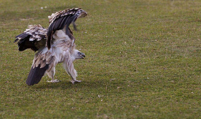 хищник, птица, стервятник, гриф Стервятник.photo preview