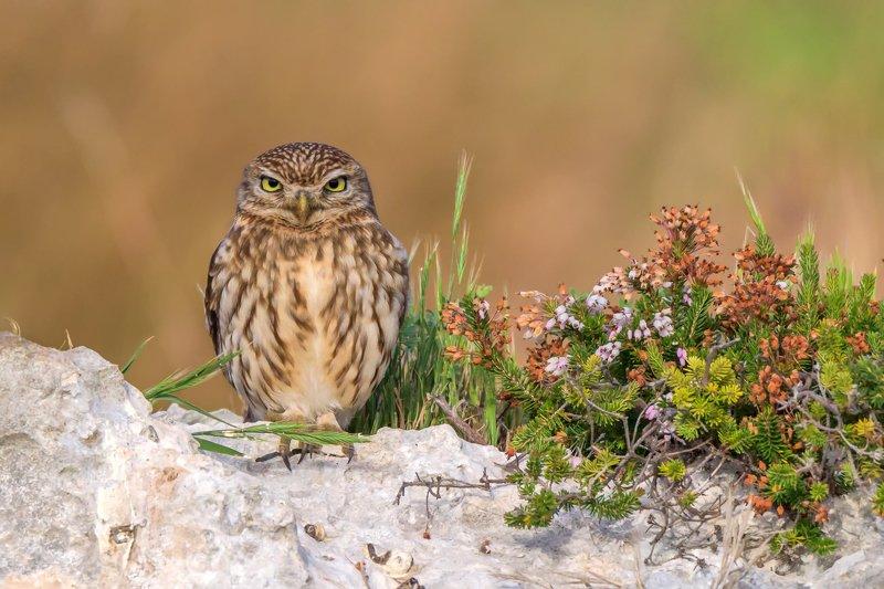 common owlphoto preview