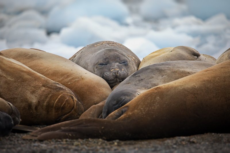 Тюленьи будниphoto preview