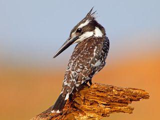 Малый пегий зимородок - Pied Kingfisher