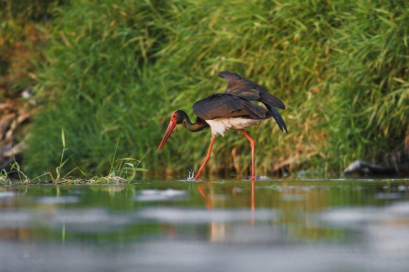 macrofun,animals,birds Ciconia nigraphoto preview
