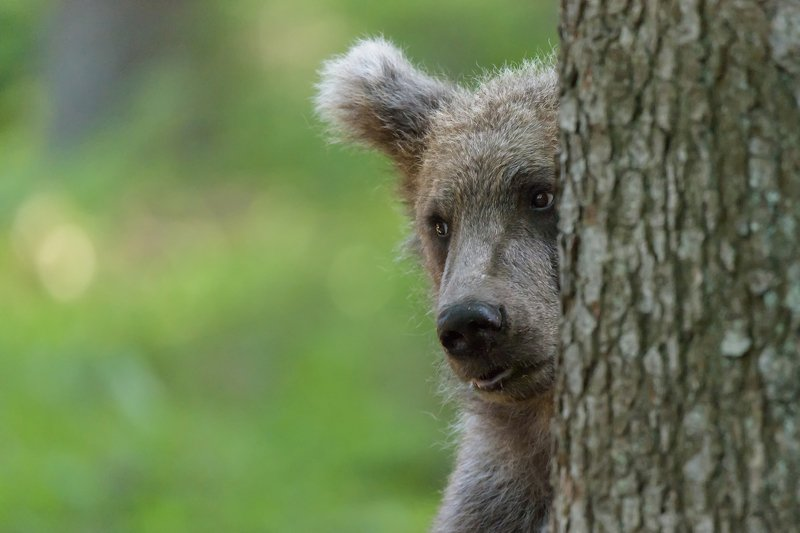 The gaze of the bearphoto preview