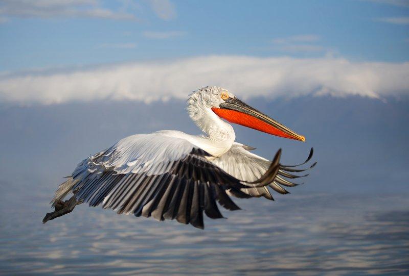 dalmatian, pelican Кудрявыйphoto preview
