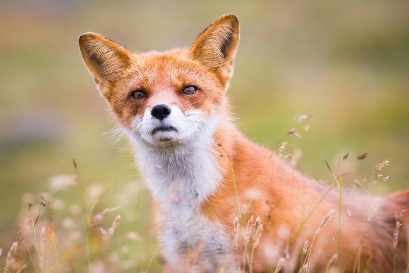 лис, дикая природа, портрет животного, камчатка, лиса Борзотаphoto preview