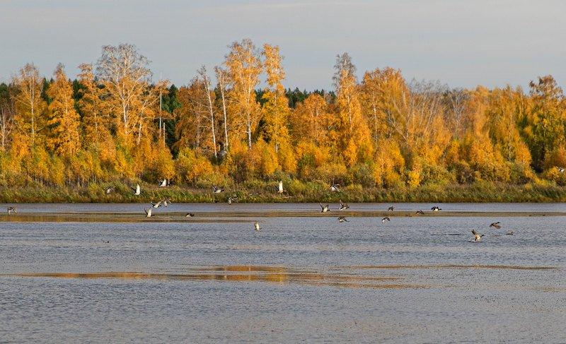 осень, утки, болото, озеро, пейзаж Летят уткиphoto preview