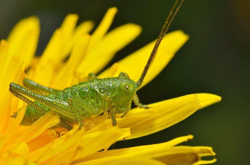 nikon, d7000, macro, kazakhstan, nature, казахстан, природа, макро, bush cricket, кузнечик Крапчатый прыгунphoto preview