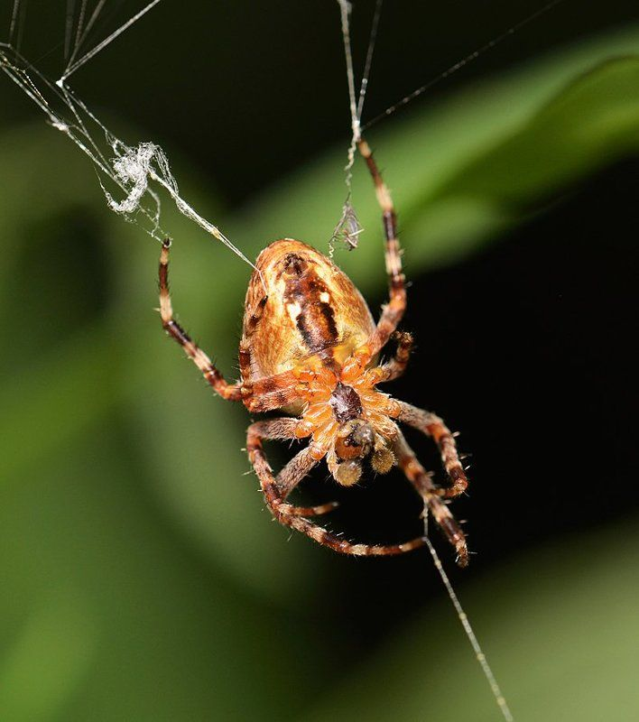 nikon, d7000, macro, kazakhstan, nature, spider, казахстан, природа, макро, паук Паук-крестовикphoto preview