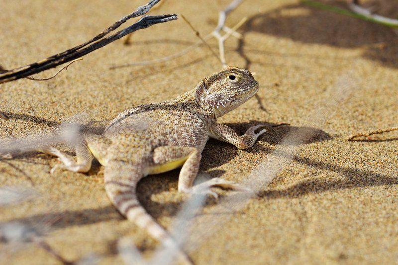 nikon, d7000, asia, kazakhstan, nature, wildlife, lizard, казахстан, природа, круглоголовка Ушастая круглоголовкаphoto preview