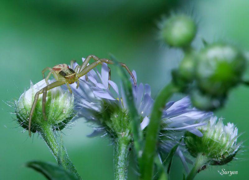 лето, цветок, паучок — Выйди, покажись. Не испугаюсь я больше вида твоего страшного.photo preview