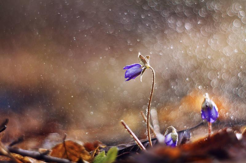 macrofun,flower,rain,bokeh Hepatica nobilis Mill.photo preview