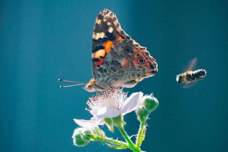 макро,природа,бабочка,цветы photo preview