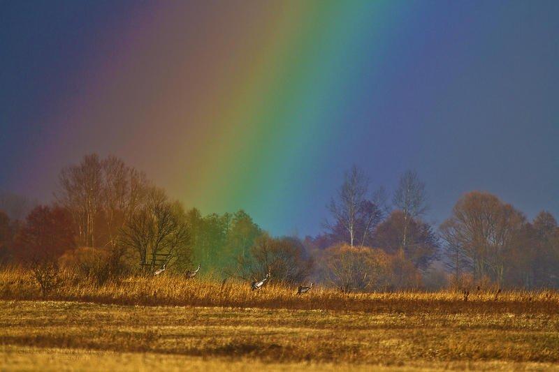 macrofun,birds,landscapes,rainbow Grus grusphoto preview