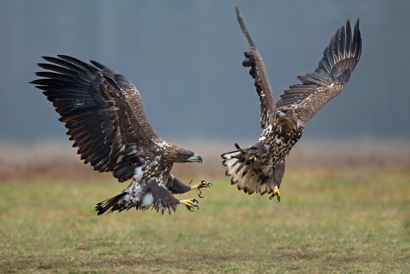 haliaeetus albicilla, white tailed eagle, орлан-белохвост битваphoto preview