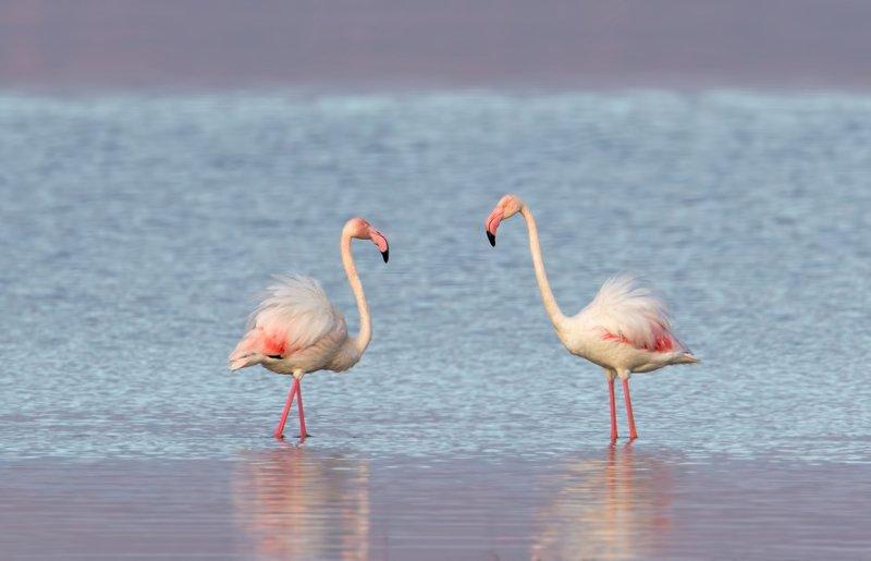 greater flamingo, phoenicopterus roseus, розовый фламинго двоеphoto preview