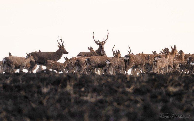 россия,парк,олени,животные,природа,wwf, фототур, анималистика,олень Стадоphoto preview