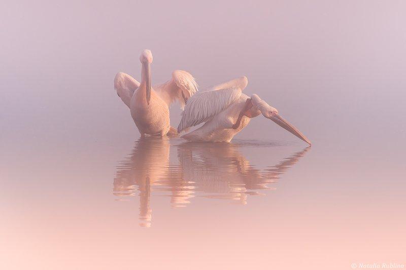 пеликаны,белые пеликаны,ангелы,птицы,животные,утро,туман,минимализм,умиротворение,природа,пеликан,отражения,тишина - Послушай Тишину !photo preview