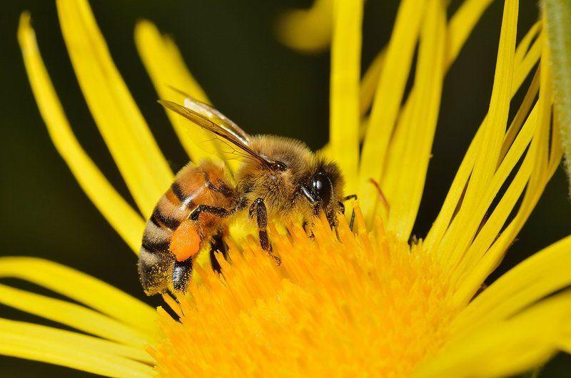 nikon, d7000, macro, kazakhstan, nature, казахстан, bee, природа, макро, пчела Пчелка Майяphoto preview