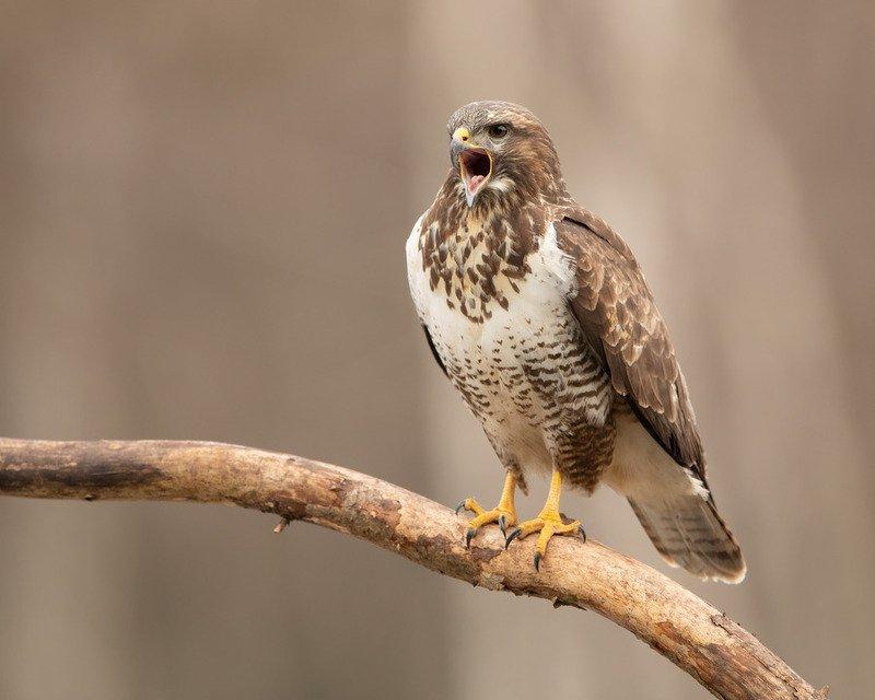 канюк, птицы, хищник, Ораторphoto preview