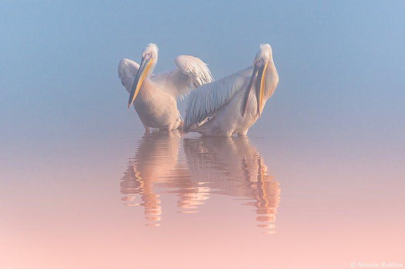 пеликаны,природа,птицы,животные,утро,озеро,отражения,друзья,ангелы Два Пеликана ...photo preview