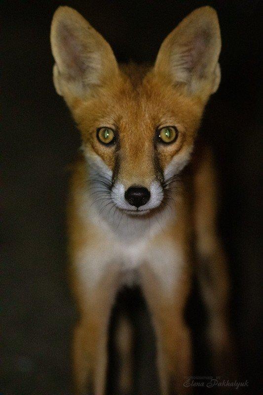лиса,лисенок,животные,природа,крым,рыжий лис,детеныш,фототур,бердвочинг Опукский Лисенокphoto preview